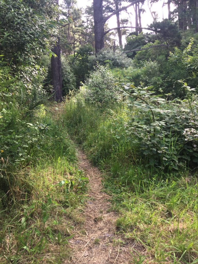 Path to access Papawai Upstream. Brown narrow footpath in grass lined by bushes and pine trees.